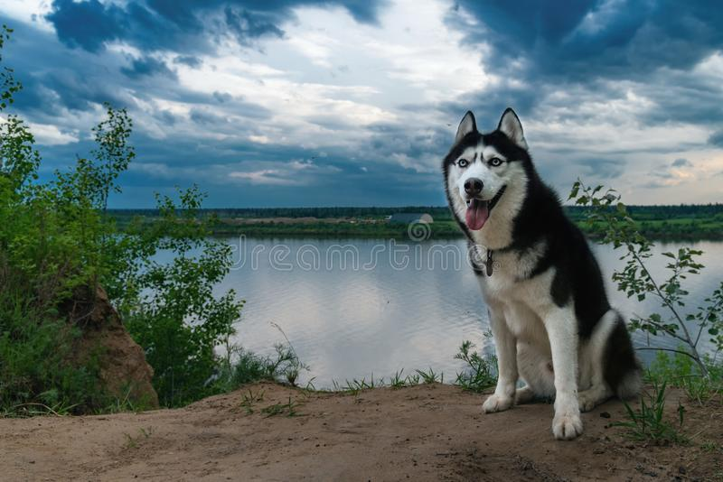 Siberian husky portrait. Husky dog with blue eyes sits on the river bank in the background of clouds. Dramatic summer landscape. stock images