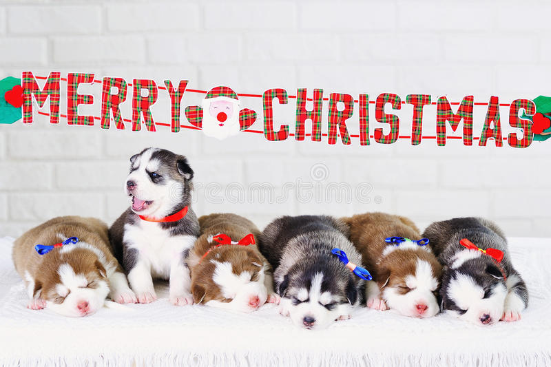 Siberian Husky puppies Christmas present. Merry Christmas decorations and sleeping little cute Siberian Husky puppies royalty free stock images