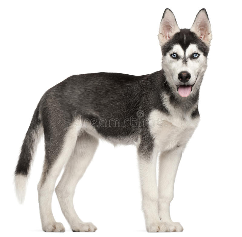 Download Siberian Husky Puppy, 4 Months Old, Standing Stock Image - Image: 20378025