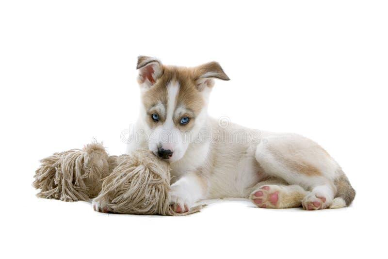Siberian husky puppy royalty free stock photos