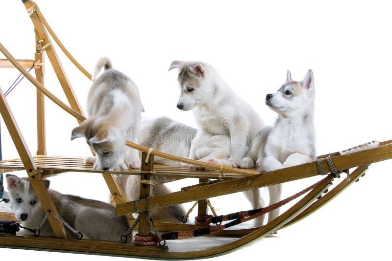 Siberian husky puppy stock photography