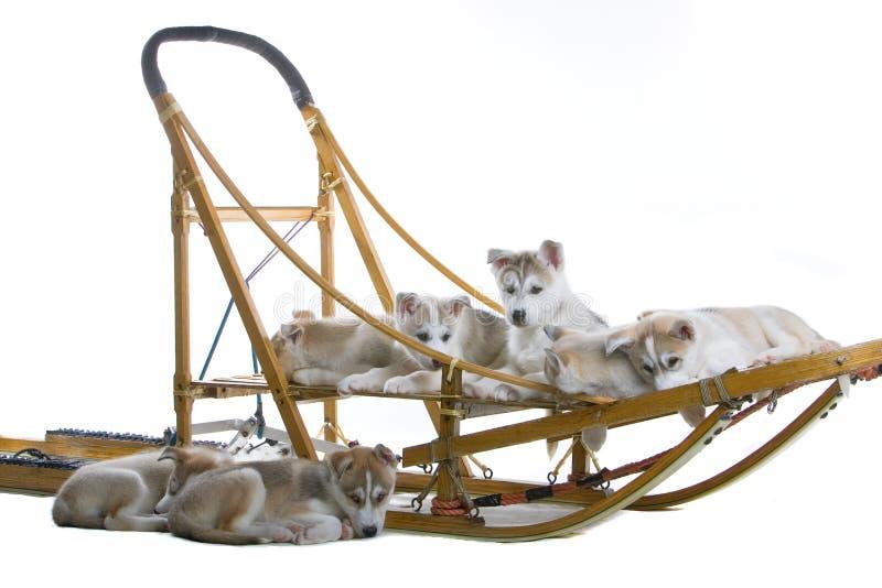 Siberian husky puppy royalty free stock photography