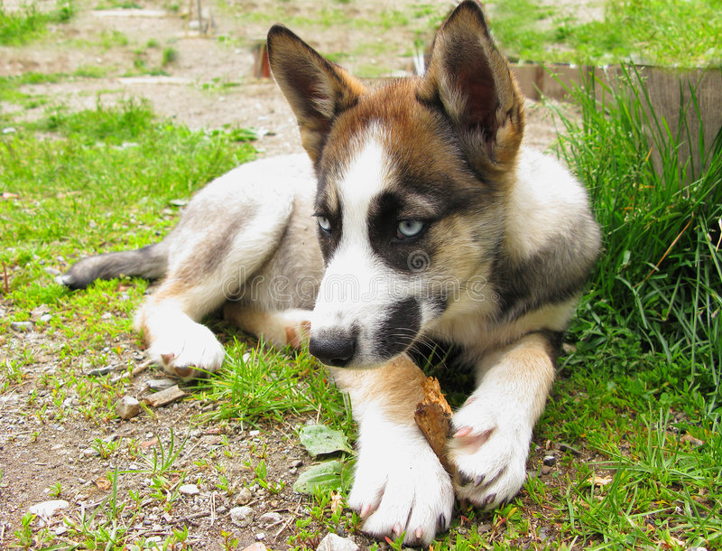 Download Siberian husky puppy stock image. Image of grass, single - 5714703
