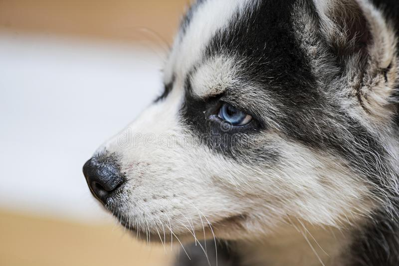 Siberian husky puppy with blue eyes. Muzzle of a husky puppy stock photos