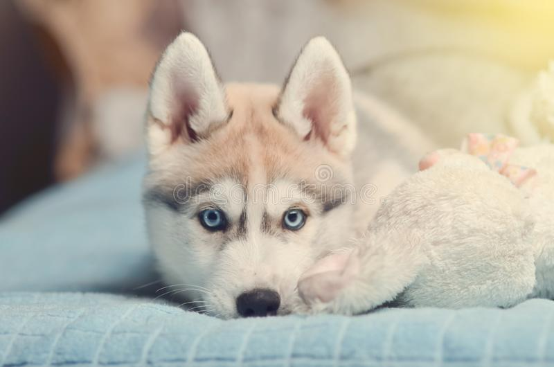 Siberian husky puppy with blue eyes purebred laying on the bed w. Ith white plush toy bunny royalty free stock photos