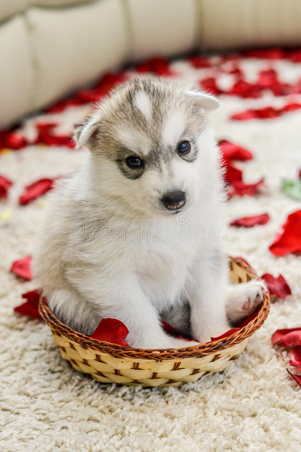 Siberian husky puppy with blue eyes. In the rose petals stock image