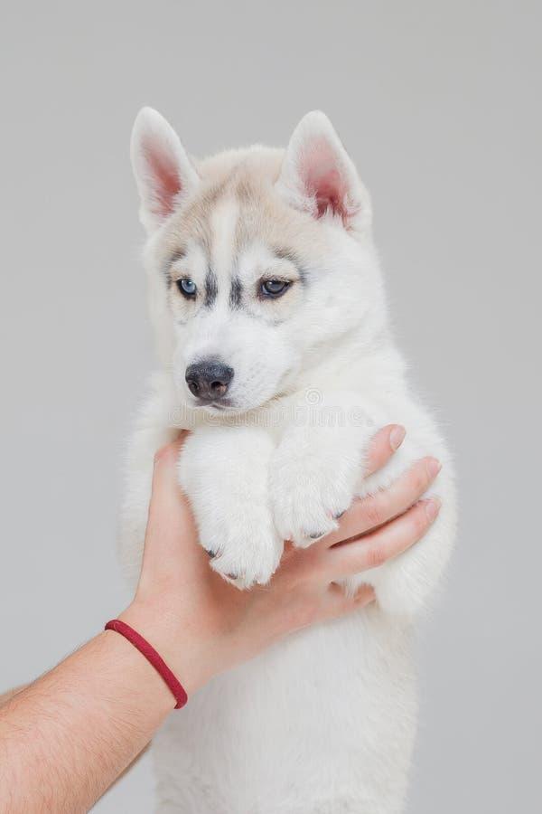 Siberian Husky Puppy 2 gamla m?nad arkivbilder