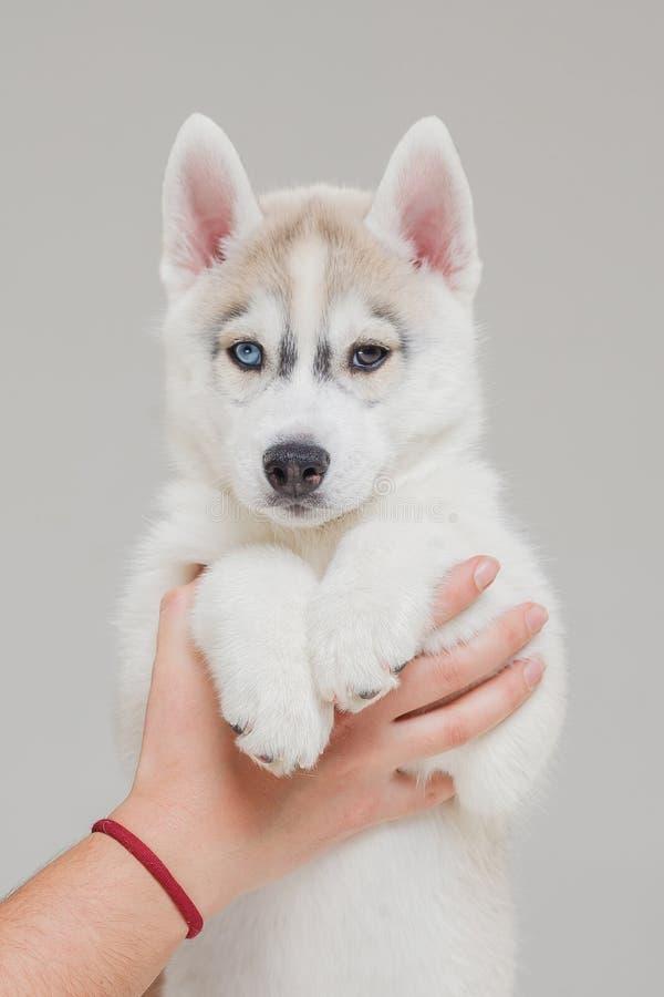 Siberian Husky Puppy 2 gamla m?nad royaltyfri fotografi