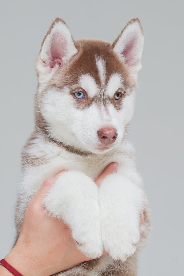 Siberian Husky Puppy 2 gamla m?nad arkivbild