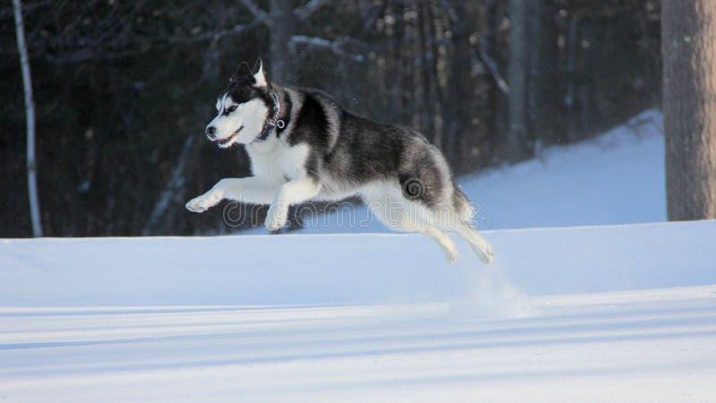 Siberian Husky Puppy Jump High na neve imagem de stock royalty free