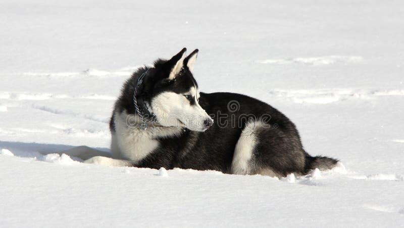 Siberian Husky Puppy på snö fotografering för bildbyråer