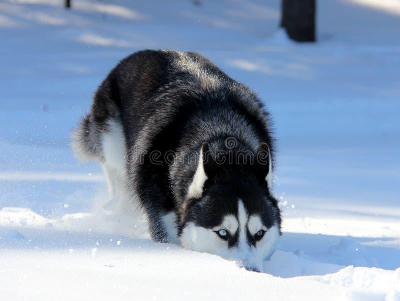 Siberian Husky Puppy på snö royaltyfri bild