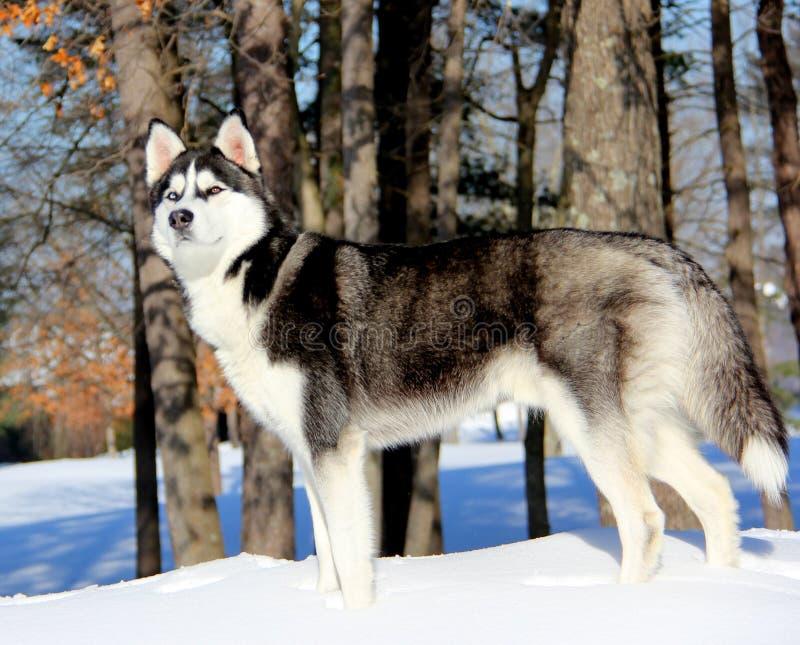 Siberian Husky Puppy på snö arkivbilder