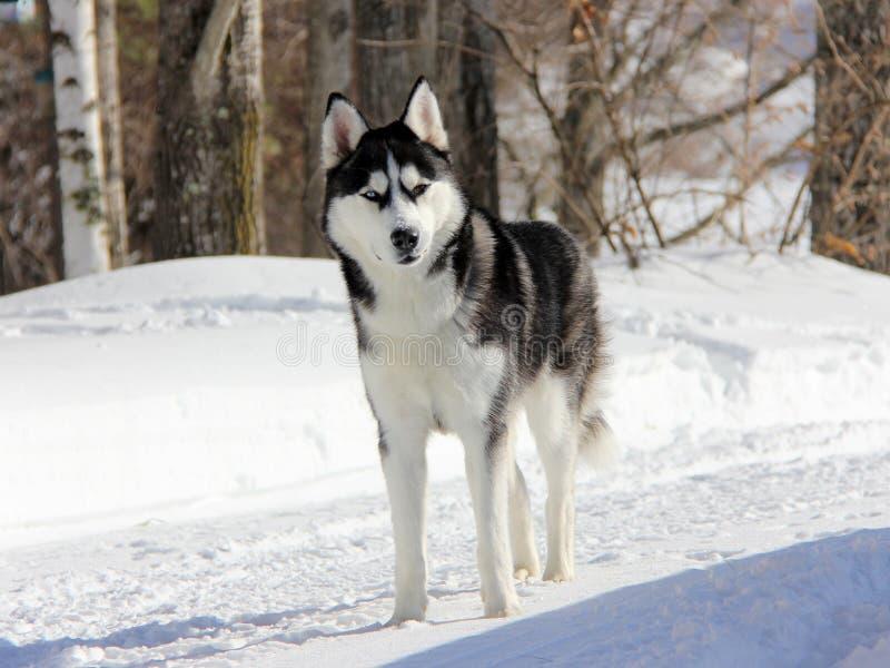 Siberian Husky Puppy på snö arkivbild