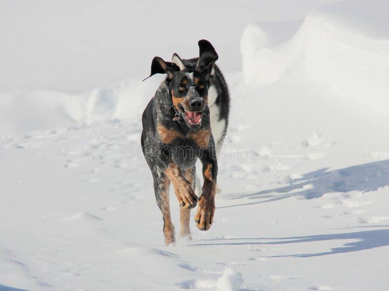 Siberian Husky Puppy Plays med hans kompis på snö royaltyfria bilder