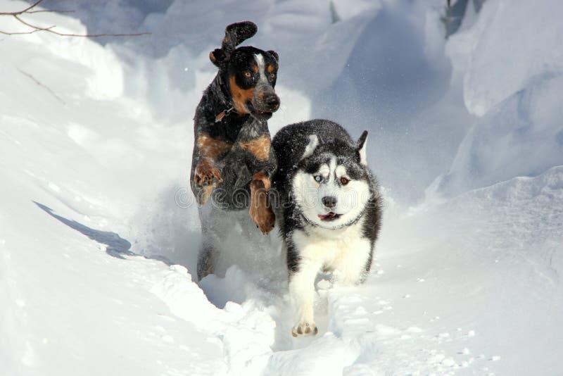 Siberian Husky Puppy Plays med hans kompis på snö royaltyfri fotografi