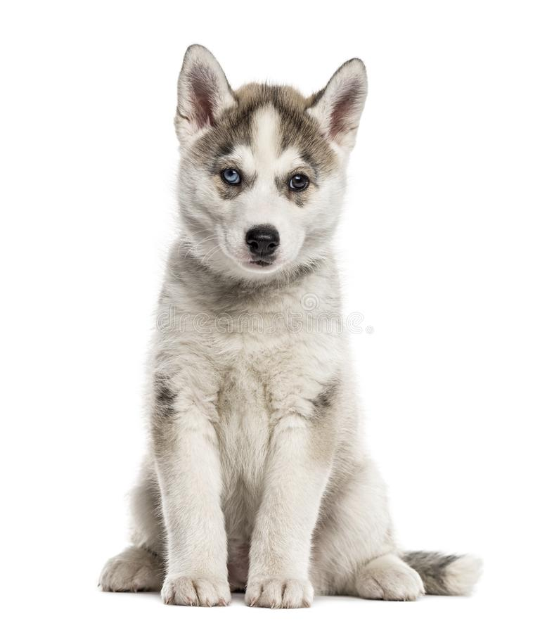 Siberian Husky puppy sitting, isolated. On white stock images