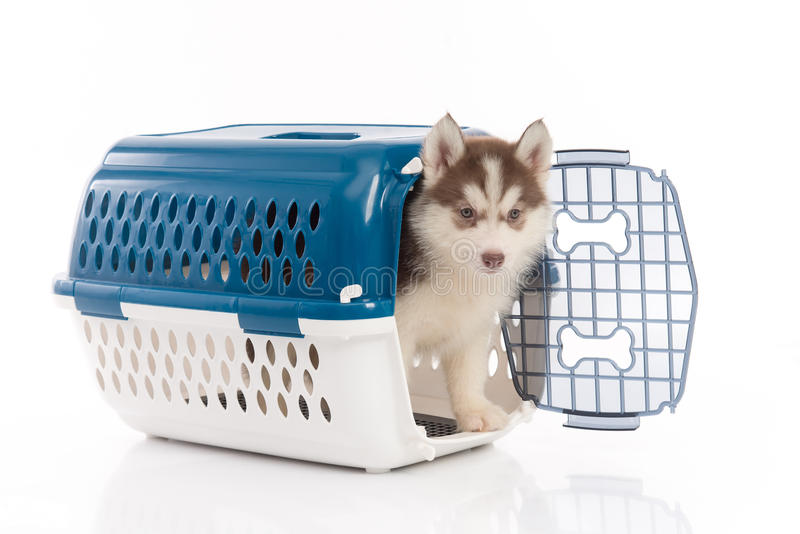 Siberian husky puppy in travel box o. Cute siberian husky puppy in travel box on white background isolated royalty free stock image