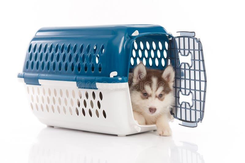 Siberian husky puppy in travel box o. Cute siberian husky puppy in travel box on white background isolated royalty free stock photos