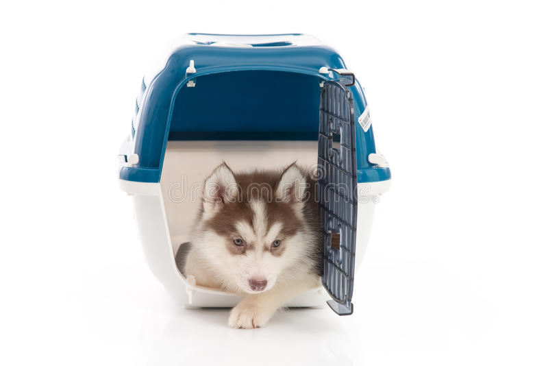 Siberian husky puppy in travel box o. Cute siberian husky puppy in travel box on white background isolated royalty free stock photography