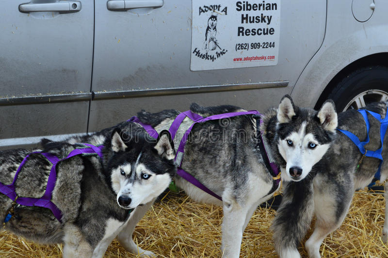 Dogsled editorial photo  Image of laika, huskies, siberian