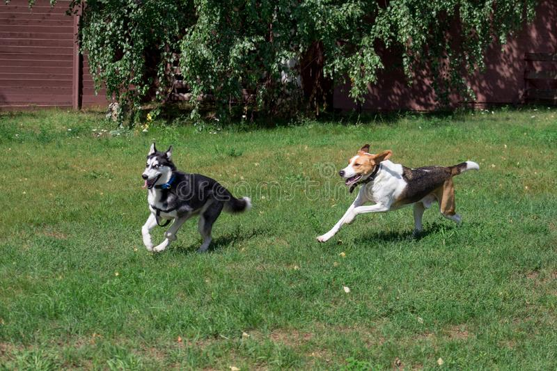 Siberian husky and russian hound are playing on a green meadow in the park. Pet animals stock images