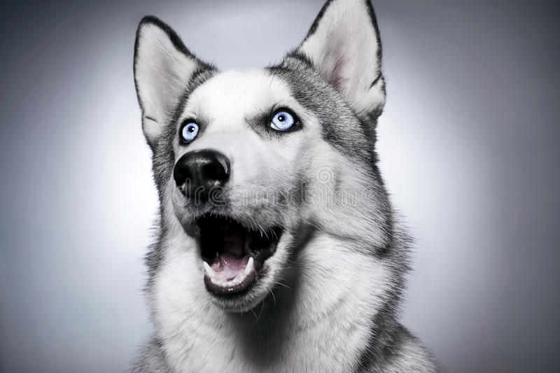 Siberian husky studio photo royalty free stock images