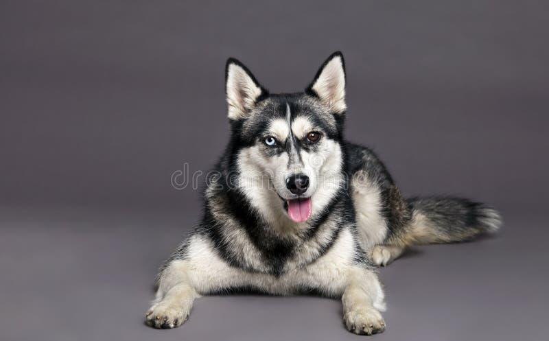 Siberian Husky Studio Portrait fotografia de stock royalty free