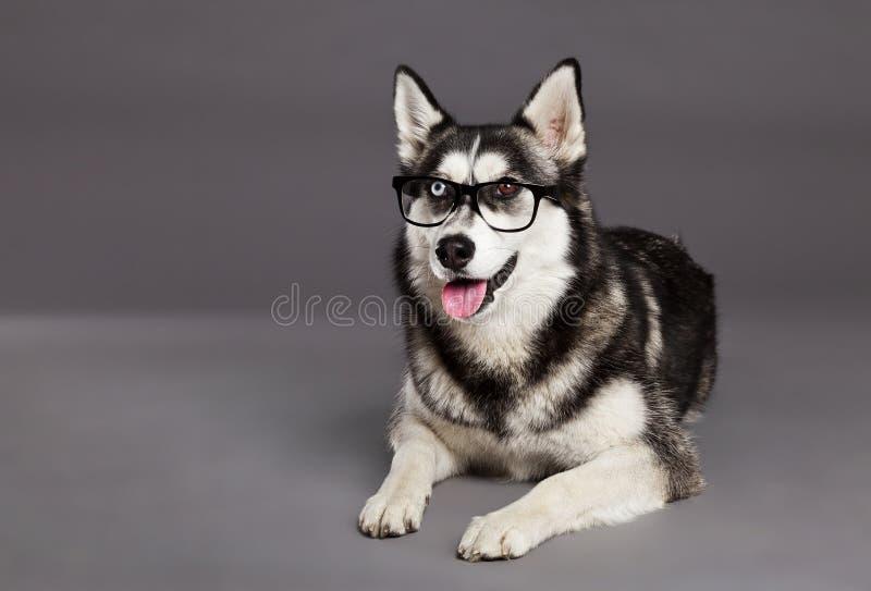 Siberian Husky Studio Portrait com vidros do moderno fotos de stock royalty free