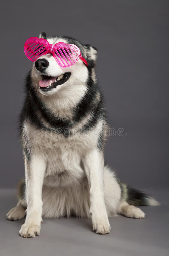 Download Siberian Husky Studio Portrait With Funky Pink Glasses Stock Image - Image of pink, positivity: 30883457