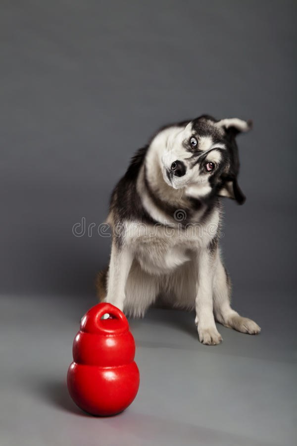Free Siberian Husky Studio Portrait Shaking Head With Toy Royalty Free Stock Photography - 30883527