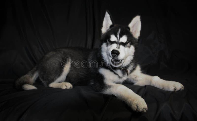 Siberian Husky royalty free stock photos