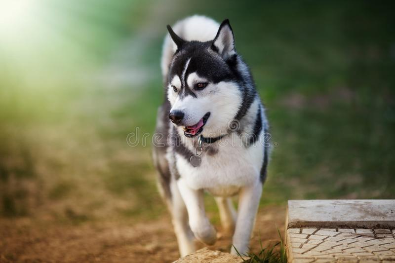 Siberian husky walking in the park looking aside stock images