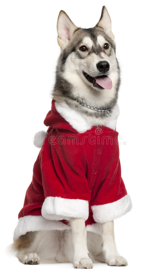 Siberian Husky Wearing Santa Outfit Stock Image