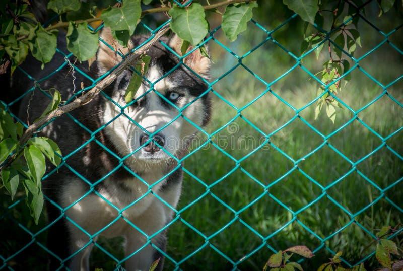 Sad Siberian Husky Behind Fence stock photography