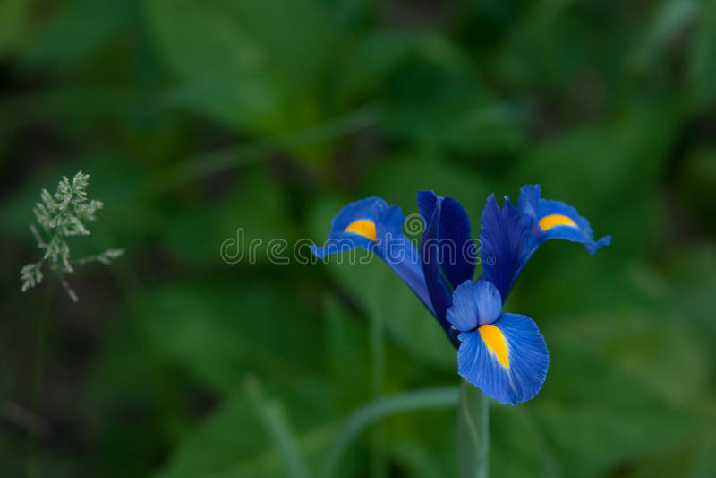Siberian Iris royalty free stock photo