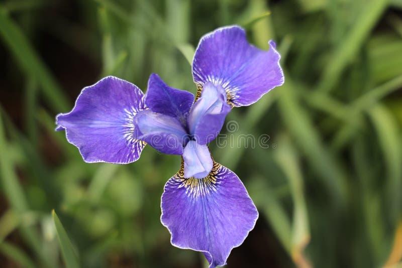 Siberian iris fotografering för bildbyråer