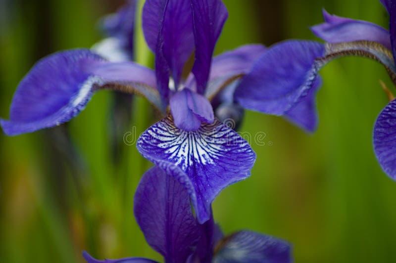 Siberian Iris detail stock photography