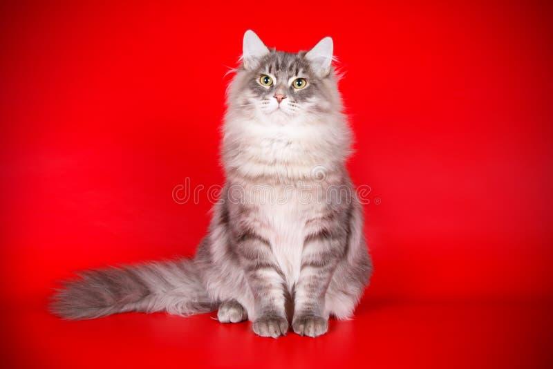 Siberian katt på kulöra bakgrunder arkivfoto