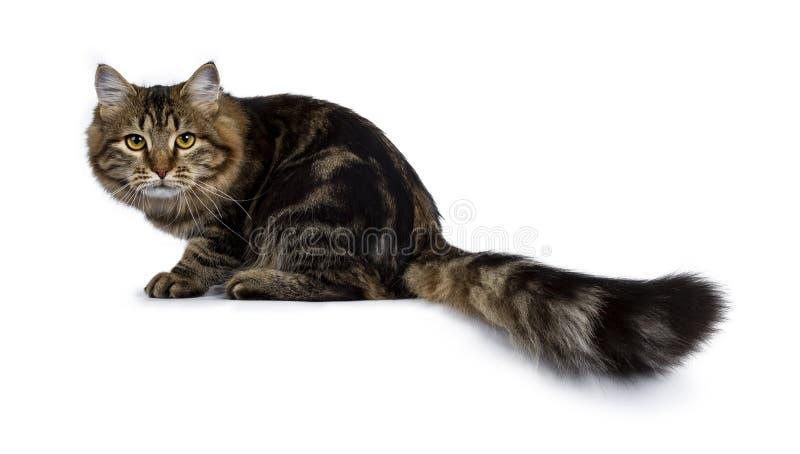 Siberian kattkattunge för gullig klassisk svart strimmig katt som isoleras på en vit bakgrund arkivfoto