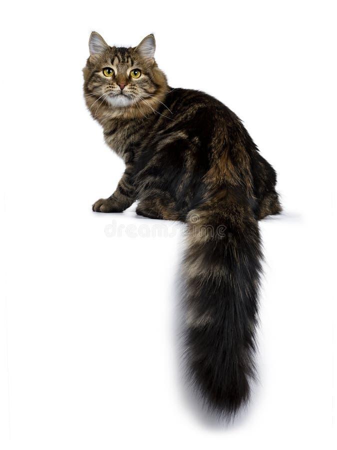 Siberian kattkattunge för gullig klassisk svart strimmig katt som isoleras på en vit bakgrund arkivbilder
