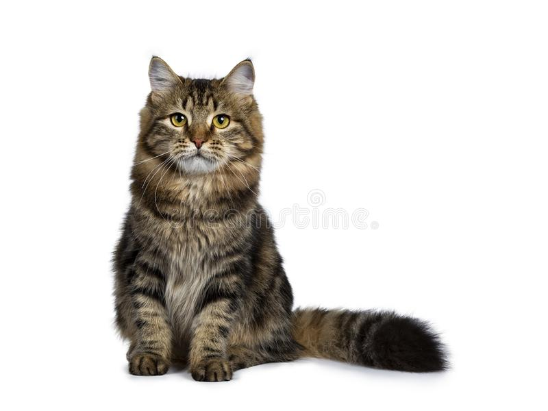 Siberian kattkattunge för gullig klassisk svart strimmig katt som isoleras på en vit bakgrund royaltyfria bilder