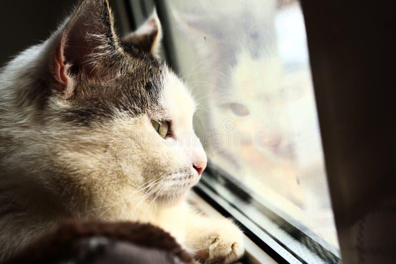 Siberian kattslut upp ståendeblick på fönstret arkivfoto