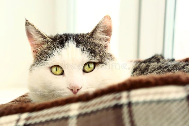 Siberian kattslut upp ståenden på fönsterbrädan royaltyfri bild