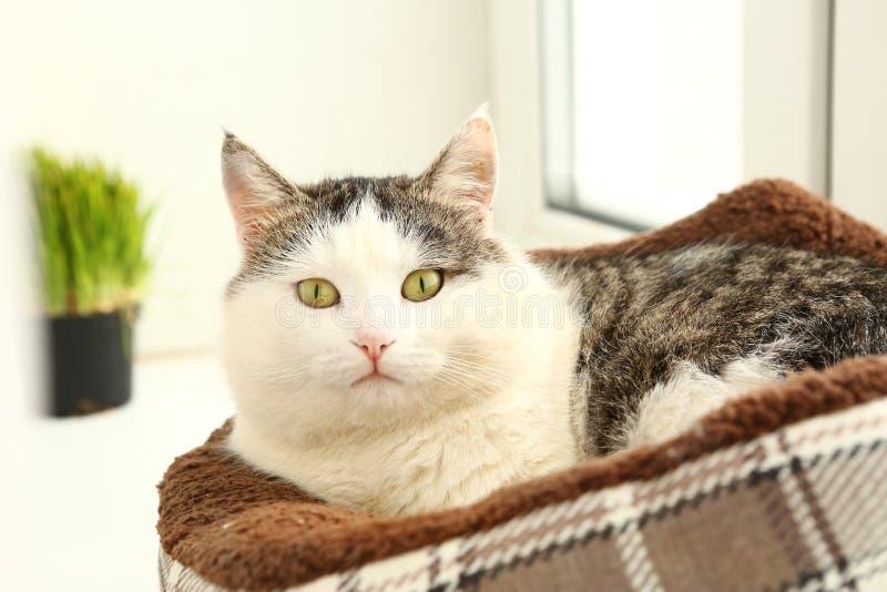Siberian kattslut upp ståenden på fönsterbrädan arkivbild