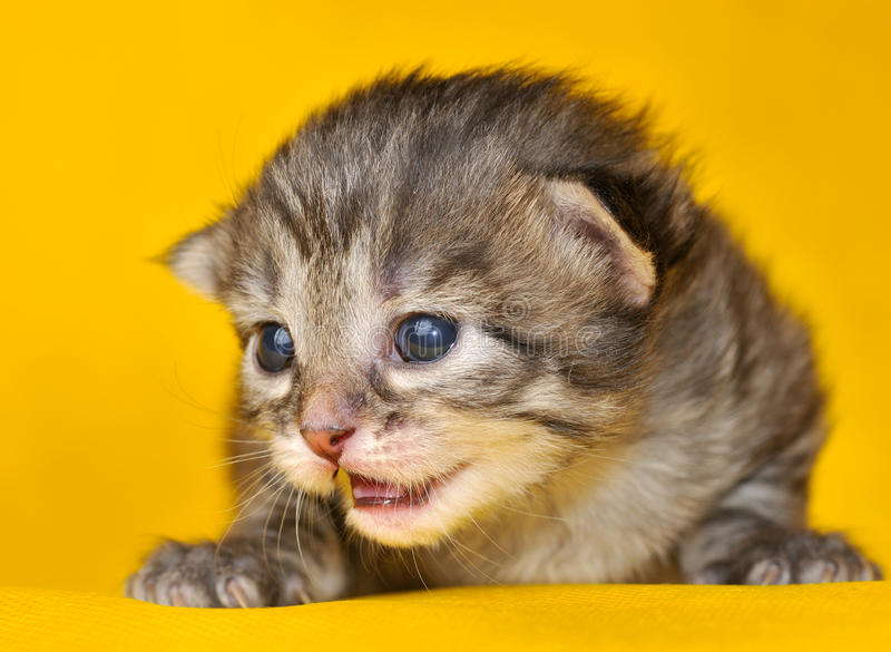 Download Siberian kitten stock image. Image of kitten, furry, yellow - 13107895