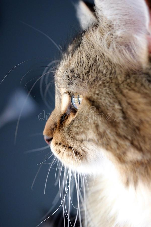 Siberian kitten looking out the window royalty free stock photo