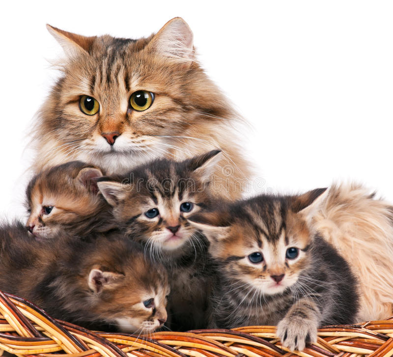 Siberian kittens. Cute siberian cat with little kittens isolated over white background. Focus on the cat royalty free stock photo