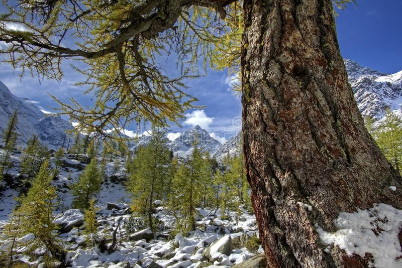 Siberian larch lat. Larix sibirica in the mountains these trees can reach the age from 200 to 400 years. stock images