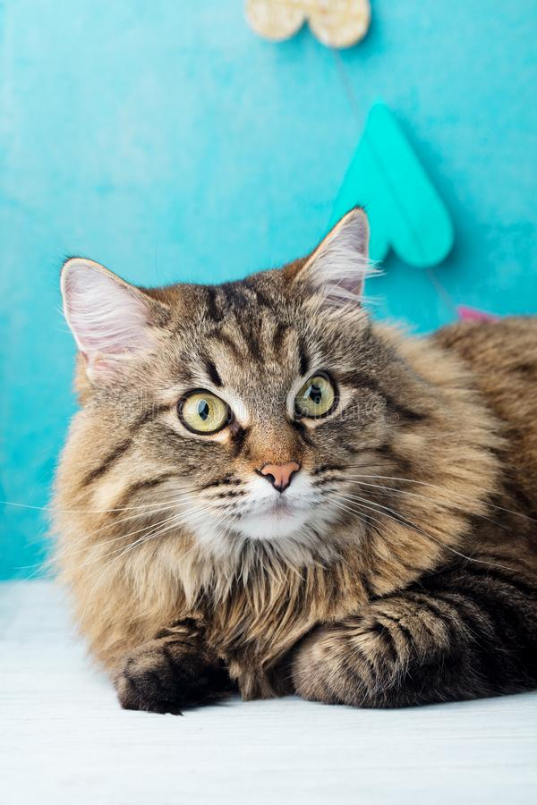 Siberian long haired cat. Blue romantic background. Close up. stock photo